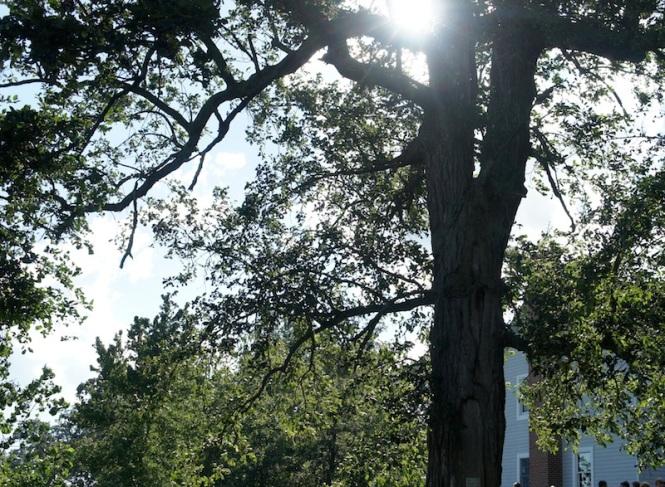 Sun setting through an old oak tree