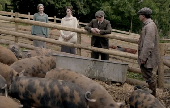pigs-on-downton